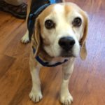 Lewis the beagle; 2 weeks after back surgery.